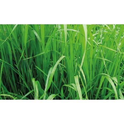 IMPRAY003  RYE GRASS SABANA - RYE GRASS SABANA HIBRIDO X 50 LIBRAS