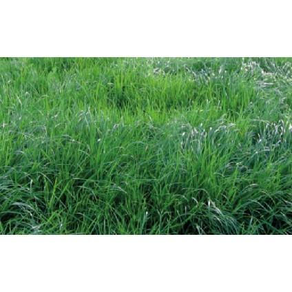 IMPRAY008  RYE GRASS AMAZON - RYE GRASS AMAZON PERENNE X 50 LIBRAS