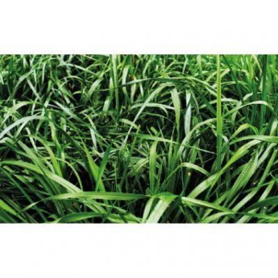 RYE GRASS AUBADE 400x400 - RYE GRASS AUBADE (TETRAPLOIDE ANUAL)