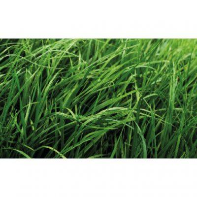 RYE GRASS BOXER 400x400 - RYE GRASS BOXER HÍBRIDO
