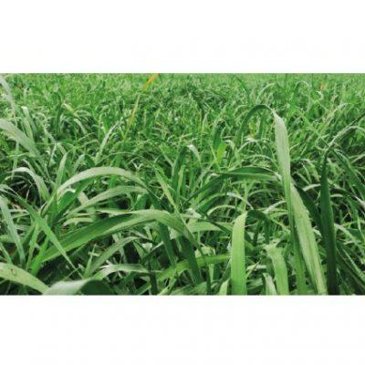RYE GRASS MAGNUS 400x400 - RYE GRASS MAGNUM (TETRAPLOIDE ANUAL)