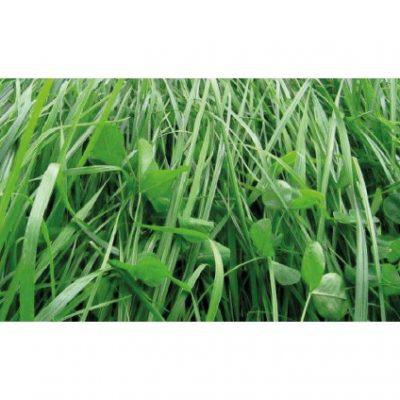 RYE GRASS TITAN BLEND FORAGE 400x400 - RYE GRASS TITAN BLEND FORAGE (MEZCLA)