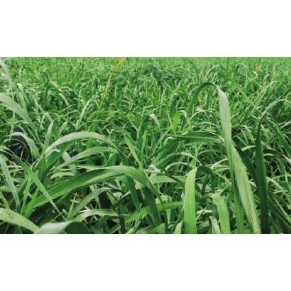 magnum - RYE GRASS MAGNUM TETRAPLOIDE ANUAL