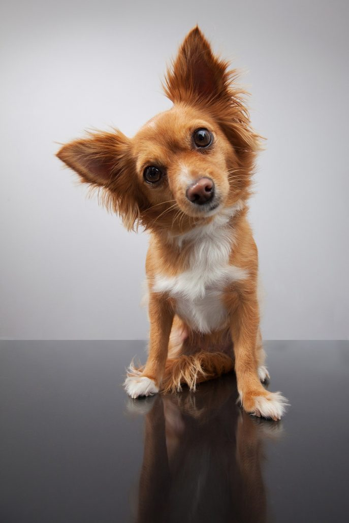 ¿Tu mascota le teme a la pirotecnia?